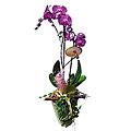 Phalenopsis Plant
