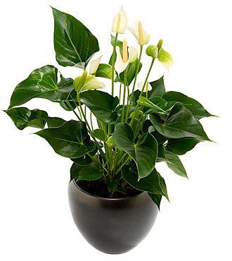 Flamingo Flower Plant, Inclusive Pot
