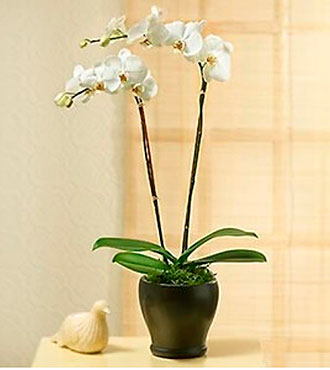 Two stems Phaleonopsis Orchid Pland in pot