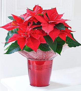 Festive Poinsettia Tin