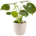 Green plant including pot