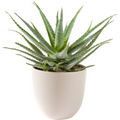 Aloe Vera plant including pot
