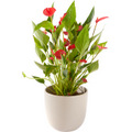 Anthurium including pot