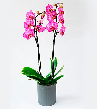 Cerise Orchid in a Pot