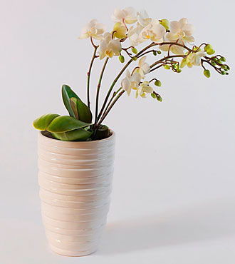 Multiflora Phalaenopsis in a Pot