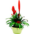 Arrangement of Plants Bromelia