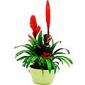 Arrangement of Plants Bromelia