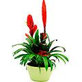 Bromelias Plant