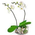 2-Stemmed Orchid in Glass Bowl