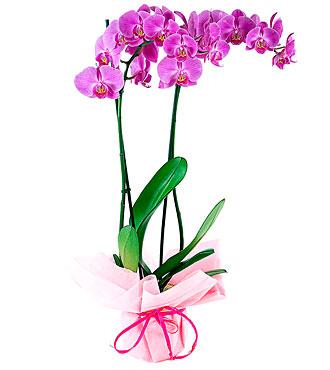Orchid Plant, Moorea