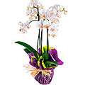 Premium Phalaenopsis Tahiti