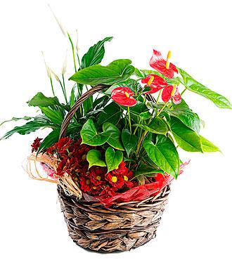 Anthurium Basket Bali
