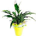 Spatifilium plant