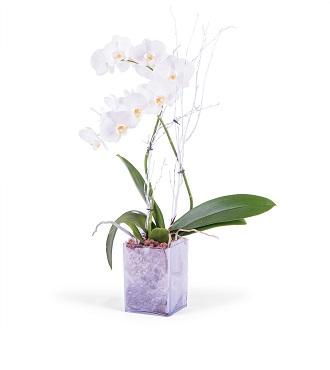 White Phalaenopsis Plant