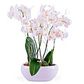 Centerpiece of white Phalaenopsis Plants