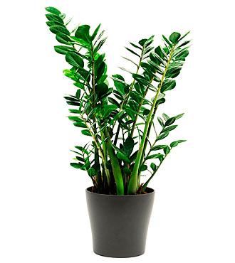 Zamioculcas Plant