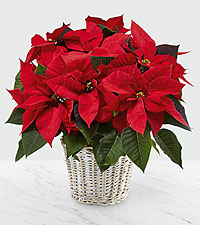 The Red Poinsettia Basket by FTD® (Large)