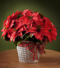 Happiest Holidays™ Poinsettia