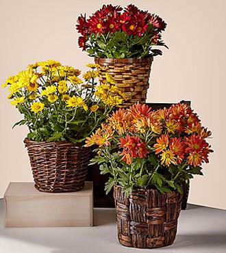 Chrysanthèmes Bright Harvest