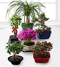 Bonsai of the Month Club