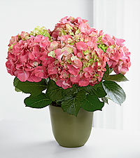 Florist Select Blooming Hydrangea