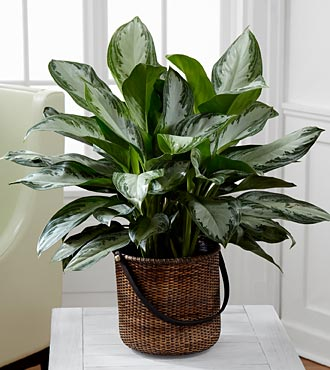 The Chinese Evergreen Plant by FTD® - BASKET INCLUDED