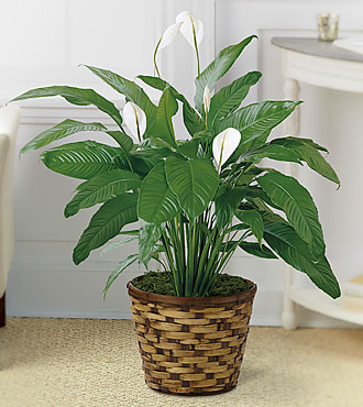 The Spathiphyllum Plant by FTD® - BASKET INCLUDED