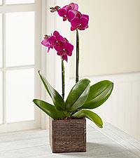 The FTD® Fuchsia Phalaenopsis Orchid
