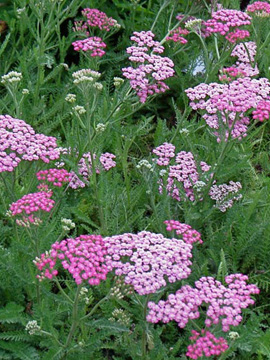 Easy-Care Yarrow