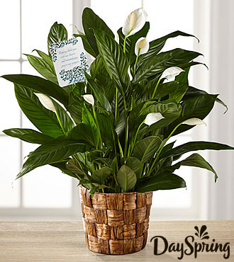 DaySpring® Sincere Sympathies Peace Lily
