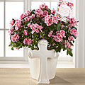 DaySpring® Always in Our Hearts Sympathy Azalea