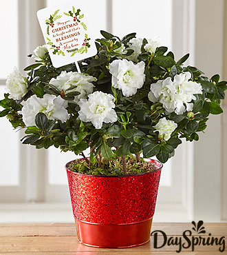 DaySpring® Peaceful Blessings Christmas Azalea