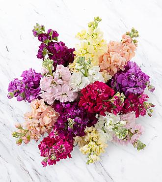 Wistful Wishes Gilliflower Bouquet - 15 Stems - No Vase