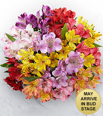 The FTD® Pick Me Up® Rainbow Discovery Peruvian Lily Bouquet - 50 Blooms, No Vase