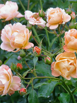 Glorious Groundcover Roses