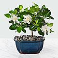 Blossoming Abundance Gardenia Bonsai