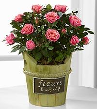 Blushing Views Mini Rose