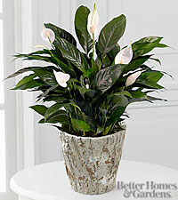 The FTD Perfect® Peace Lily Plant by Better Homes and Gardens®