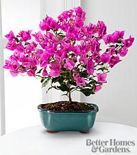 The FTD® Rare Beauty Bougainvillea Bonsai by Better Homes and Gardens®