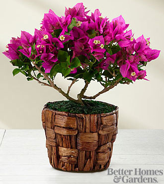 The FTD® Flowering Fuchsia Bougainvillea Plant by Better Homes and Gardens®