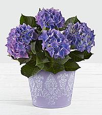 Spring Surprise Hydrangea Plant