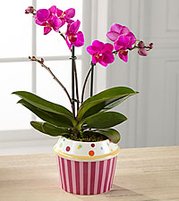 Sweet Celebrations Birthday Orchid