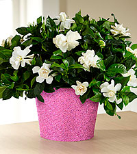 Set to Sparkle Birthday Gardenia