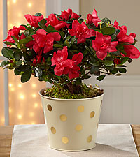 Holiday Fun Azalea