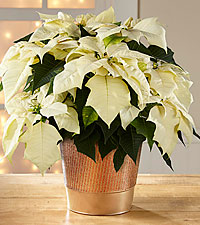 White Holiday Poinsettia