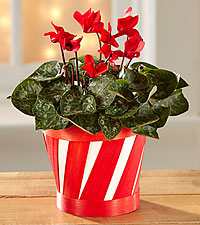 Candy Cane Cool Cyclamen