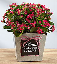 The Mom = Love Mother's Day Kalanchoe