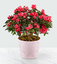 About Bloomin' Time Spring Azalea