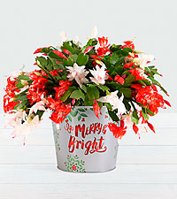 Merry and Bright Christmas Cactus