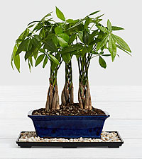 Braided Money Tree Bonsai